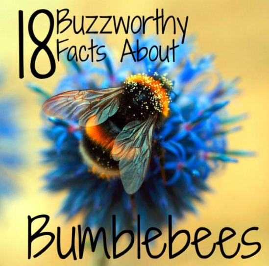bumblebee-facts